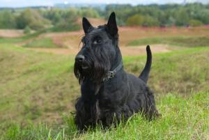 The Scottish Terrier (Scottie)